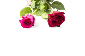 Red and Pink Rose isolated on White background