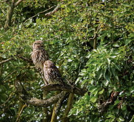 Pair of wild little owls with young owl looking at adult (Athene noctua)