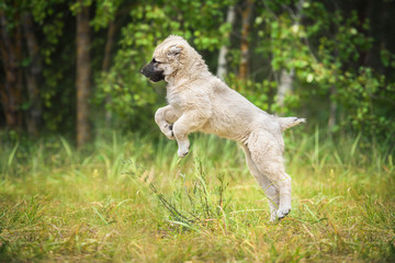 Happy central asian shepherd puppy jumping in the air