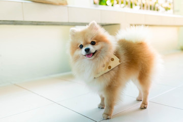Pomeranian Spitz smiling sun evening Orange smile, sitting at an