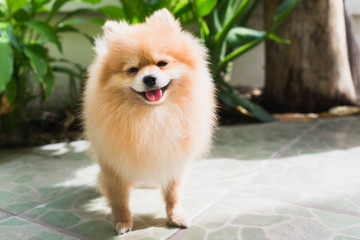 pomeranian spitz smiling, happy, cheerful, vintage style.