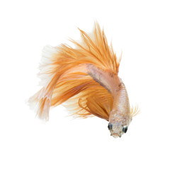 Betta fish on white background