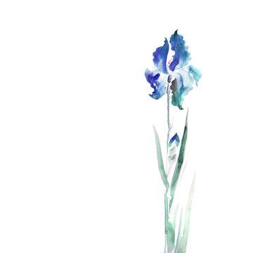 isolated  iris flower watercolor illustration