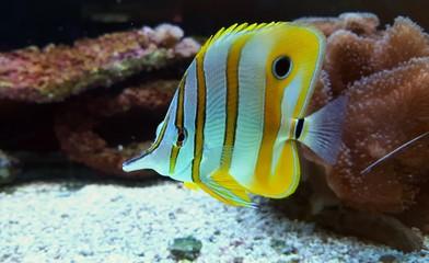 Butterflyfish in coral reef aquarium