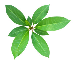 Top view of the small plant, green fresh leaf on center group branches, white background isolated. (Frangipani, Plumeria, Temple Tree, West Indian Jasmine, Pagoda Tree, P. pudica L., P. rubra L.)