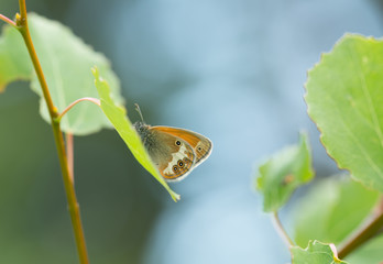 Pearly Heath, Coenonympha arcania resting on leaf