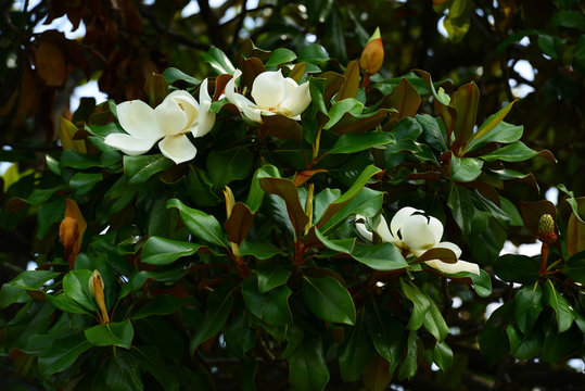 Flower, fruits and foliage of Magnolia grandiflora (Southern magnolia)