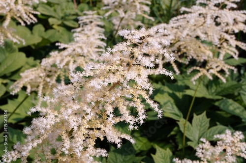 White flower clusters of rodgersia podophylla plant stock photo and white flower clusters of rodgersia podophylla plant mightylinksfo