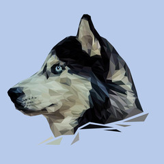 Siberian Husky Dog animal low poly design. Triangle vector illustration.