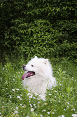 Samoyed in the grass.