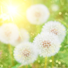 Summer Nature Background - bright blur colors  - Dandelions Flowers Background