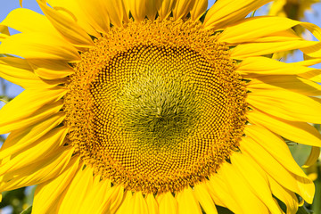 Sunflower and field against a bright sky