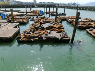 Sea lions at Pier 39, San Francisco, USA