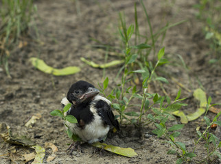 Nestling magpie in grass. Pica pica  young bird