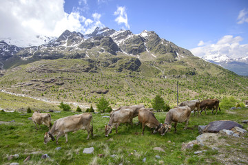 Alpine landscape with cows