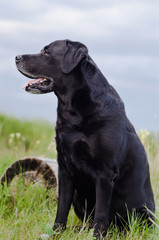 Black Labrador sitting in a summer field near the stump.