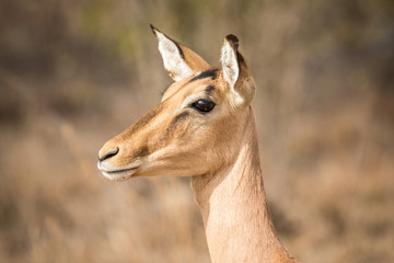 Side profile of a female Impala.