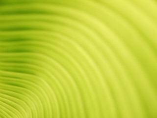 Banana leaf background with lines closeup