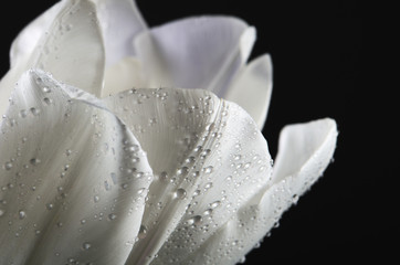 white tulip petals with water drops on a dark background. horizo