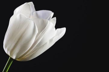 single white tulip head on a black background close-up. horizont