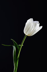 single white tulip on a black background. vertical. space for te
