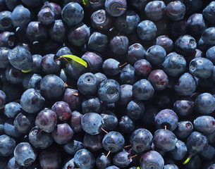 Juicy mature berries of bilberry close up. Berry bilberry background