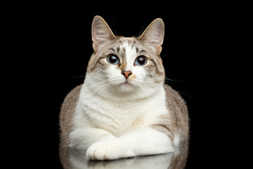 Cute White Cat with Huge Blue eyes, paws in front of him, Lying and Curious Looking in Camera, on Isolated Black Background