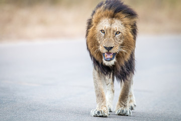 Male Lion walking towards the camera in the Kruger National Park.