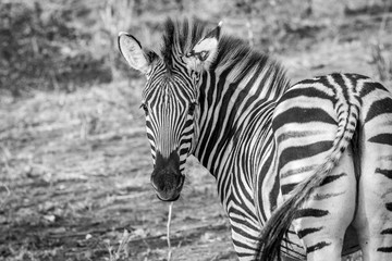 A starring Zebra in black and white in the Kruger National Park.