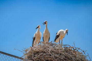 Les cigognes de Camargue