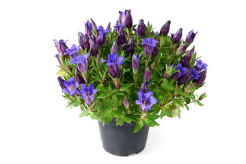 blue gentian on white isolated background