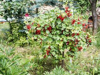 Johannisbeerstrauch im Garten