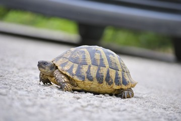 Turtle on a asphalt road with blur vehicle tire background.
