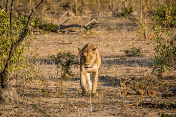 Lioness walking towards the camera in the Kruger National Park.