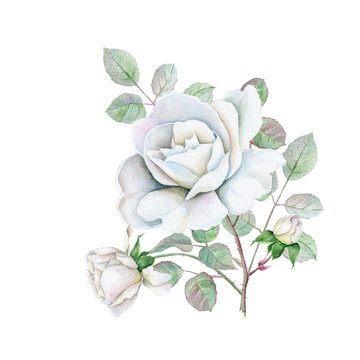 Hand drawn watercolor delicate white roses