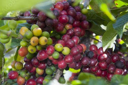 planta de café stock photo and royalty free images on fotolia com