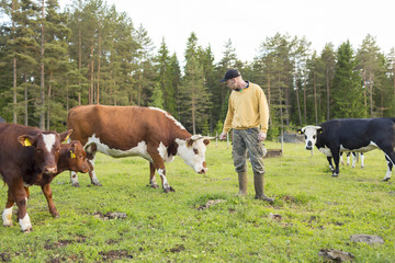 Sweden, Ostergotland, Grytgol, Farmer with cows outdoor