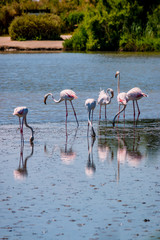 Les flamants roses de Camargue