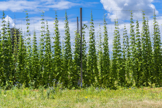 Vibrant green hop field in Oregon on a sunny summer day