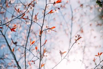 Finland, Helsinki, Branch of cherry tree in bloom