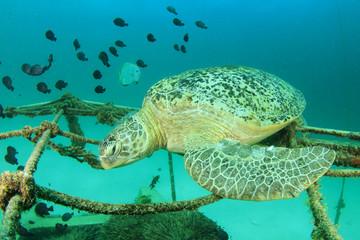 Green Sea Turtle sleeping on shipwreck