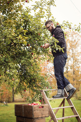 Sweden, Dalarna, Man picking apples from tree