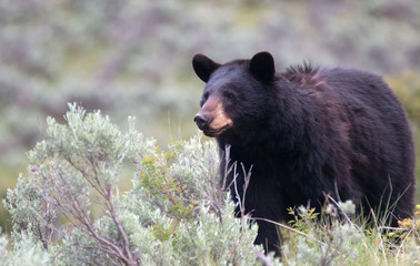 Female American Black Bear (Ursus americanus) in Yellowstone National Park in Wyoming