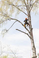 Low angle view of arborist rappelling from birch tree