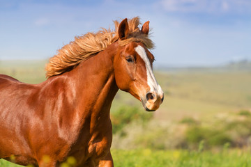 Red horse with long mane portrait in motion