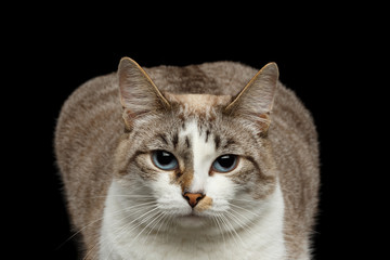 Closeup face of Fat White Cat, Sad Huge Blue Eyes Isolated Black Background, Front view