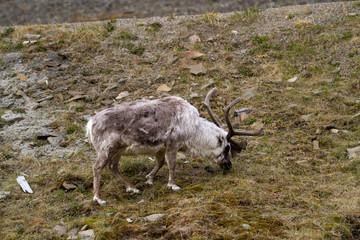 reindeers walking in the svalbard islands