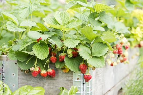 Erdbeeren Im Hochbeet Stockfotos Und Lizenzfreie Bilder Auf Fotolia