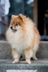 Pomeranian dog in a suspect face