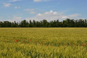 Getreidefelder durchwachsen mit Mohn